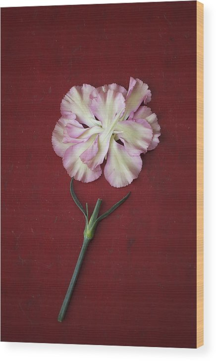 Pink Wood Print featuring the photograph Flower Petals And Broken Stem by Di Kerpan
