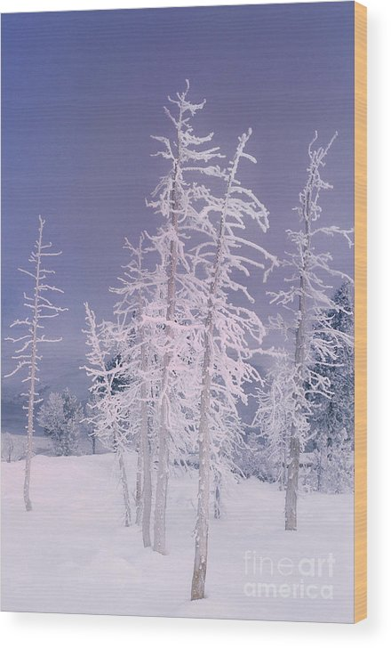 North America Wood Print featuring the photograph Ghost Trees Yellowstone National Park by Dave Welling