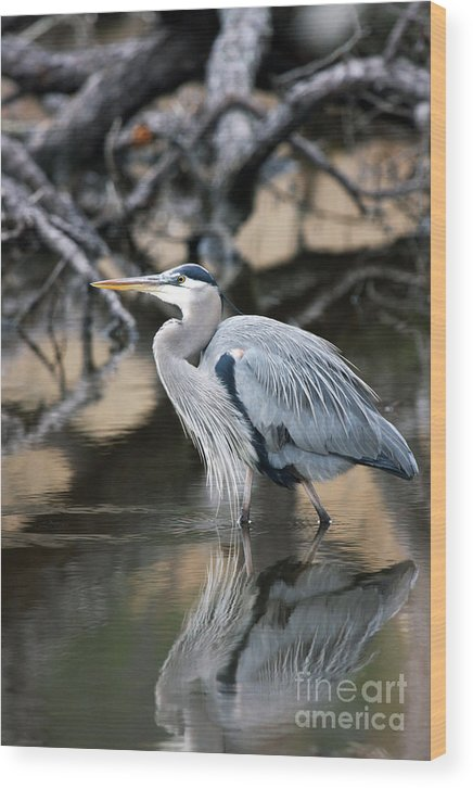 Great Blue Heron Wood Print featuring the photograph Heron Wading by J L Gould