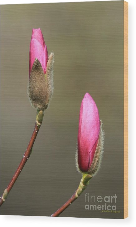 Spring Bloom Magnolia Pink Blossom Wood Print featuring the photograph Magnbolia Bloom by Winston Rockwell