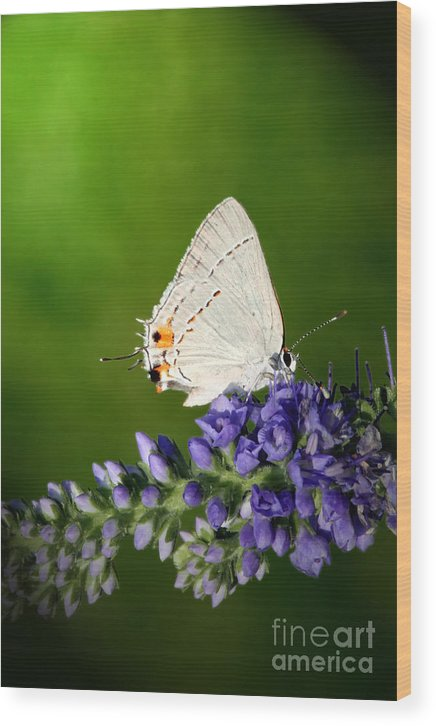 Marius Wood Print featuring the photograph Marius Hairstreak Butterfly by Jeannie Burleson