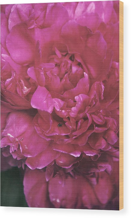 Flower Wood Print featuring the photograph Pink Peony Blossom by Di Kerpan