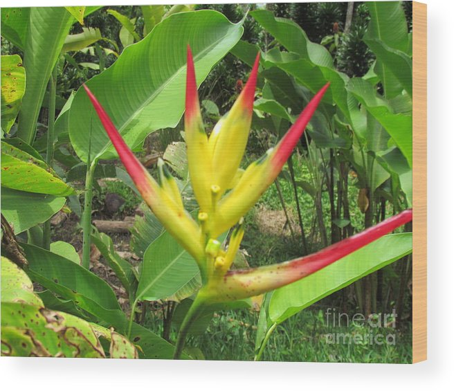 Panama Wood Print featuring the photograph Barriles Heliconia by Ted Pollard