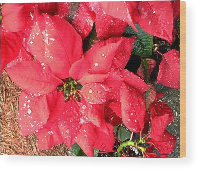 Flowers Wood Print featuring the photograph Diamond Encrusted Poinsettias by Patricia Taylor