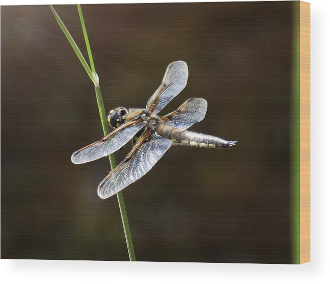 Dragonfly Wood Print featuring the photograph Resting In Sunshine by Zinvolle Art