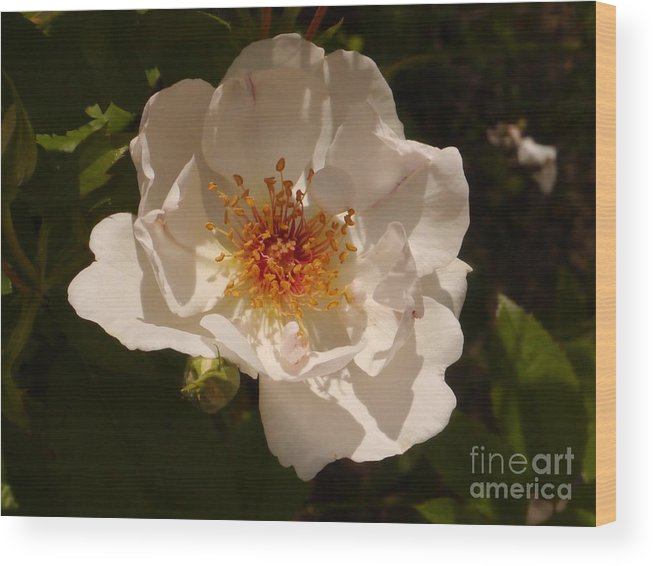White Rose Wood Print featuring the photograph White Rose by Christiane Schulze Art And Photography