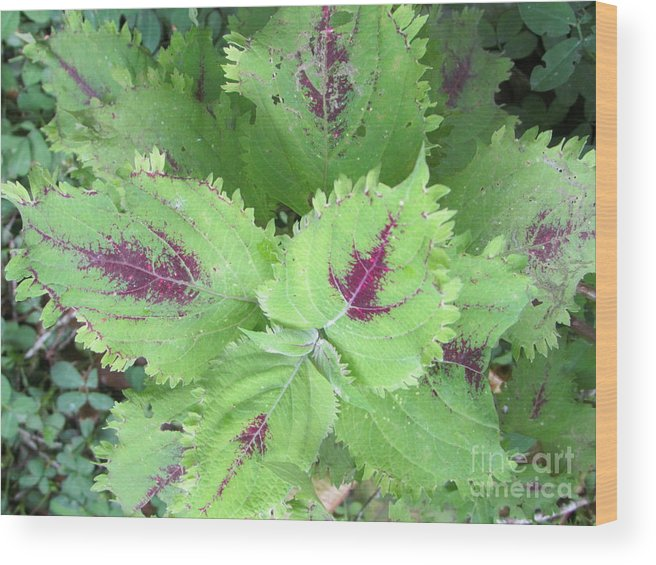 Panama Wood Print featuring the photograph Barriles Flower by Ted Pollard