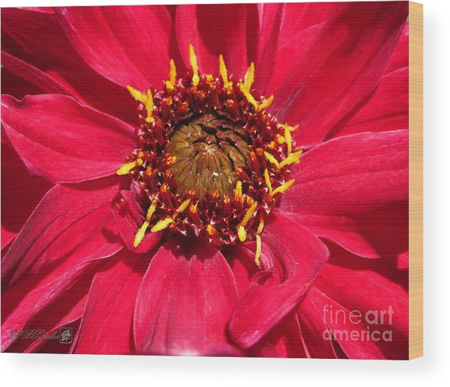 Mccombie Wood Print featuring the photograph Dahlia Named Darkarin by J McCombie