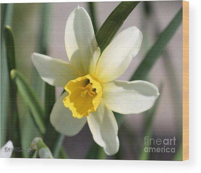 Mccombie Wood Print featuring the photograph Cyclamineus Daffodil Named Jack Snipe by J McCombie