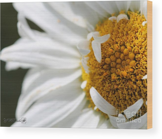 Mccombie Wood Print featuring the photograph Shasta Daisy Named Paladin by J McCombie