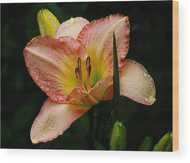 Daylily Wood Print featuring the photograph 7839 Daylily by J D Whaley
