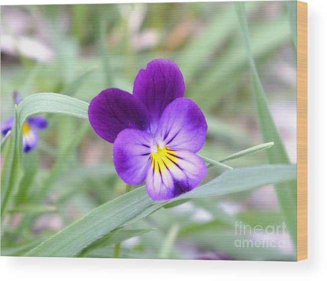 I Just Love The Color Contrast As How It Could Go With Some Ones Décor. This Is A Beautiful Blue Pansy Set Against The Greenery From The Mountains In Montana. Wood Print featuring the photograph A Blue Pansy by Greg Davis