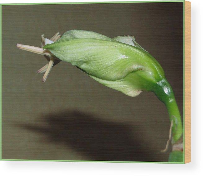 Amaryllis Wood Print featuring the photograph Amaryllis-3 by Marian Binkhorst