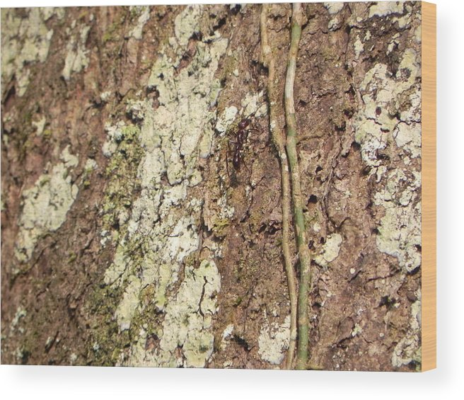 Amazon Wood Print featuring the photograph Amazon Ant by R Alexander Calahan