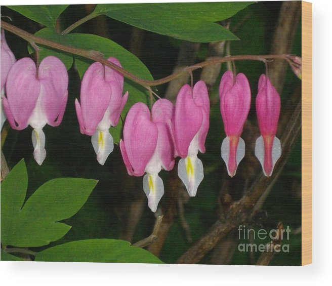 Flower Wood Print featuring the photograph Bleeding Hearts by H Cooper