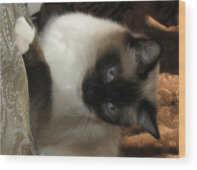 Cat Precious Seal Point Mitted Long Hair Wood Print