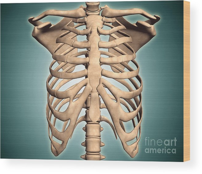 Close Up View Of Human Rib Cage Wood Print By Stocktrek Images