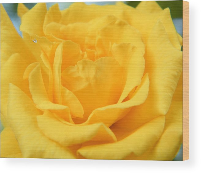 Rose Wood Print featuring the photograph Crying Yellow Rose by Matthew Kay