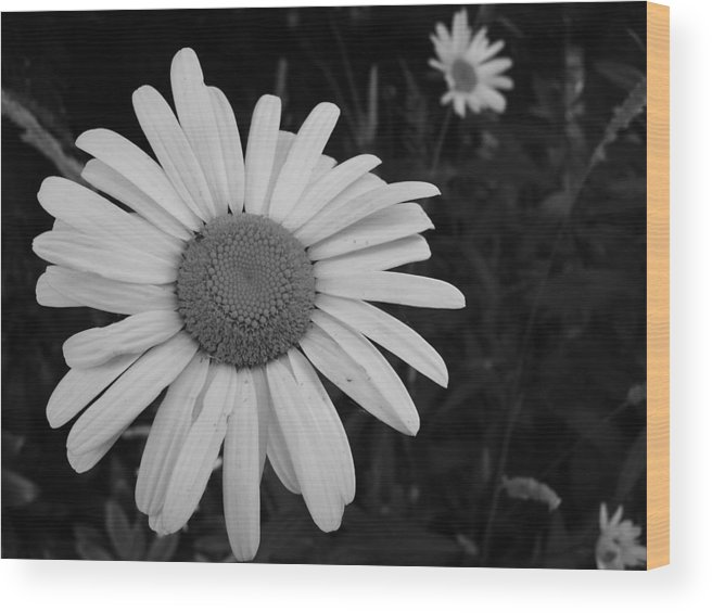 Daisy Wood Print featuring the photograph Daisy At Night by Image-in Photoart