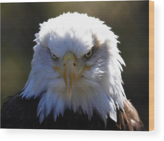 Bald Eagle Wood Print featuring the photograph Do You Feel Lucky? by Steve McKinzie