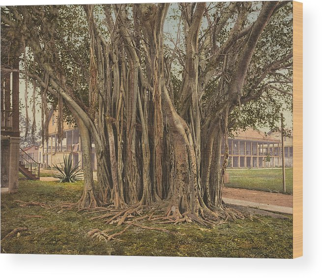 1890 Wood Print featuring the painting Florida Rubber Tree, C1900 by Granger