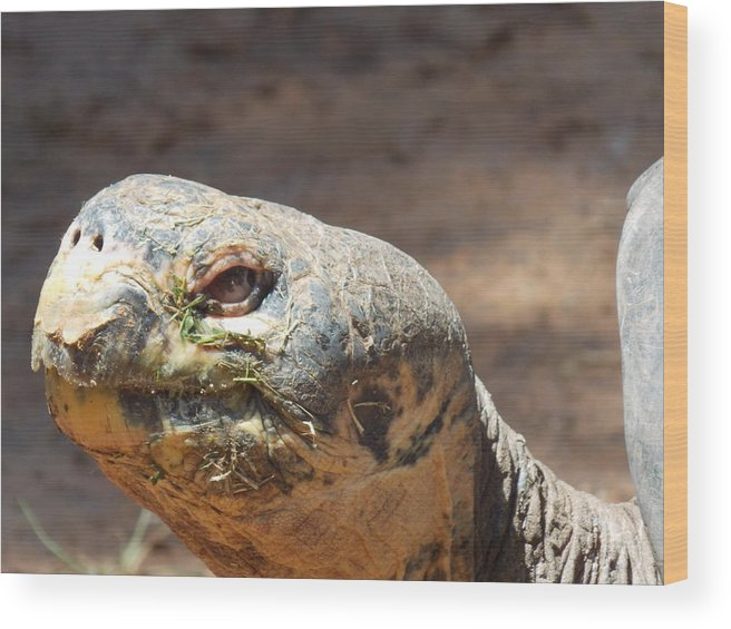 Giant Wood Print featuring the photograph Giant Tortoise by Virginia Kay White