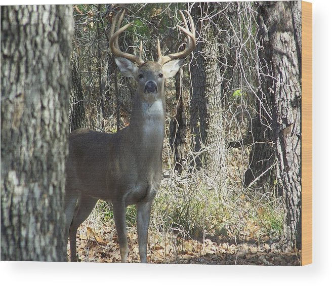 Buck Wood Print featuring the photograph Great Buck by Hilton Barlow