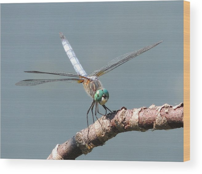 Dragonfly Wood Print featuring the photograph Green Lady by Lucy Howard