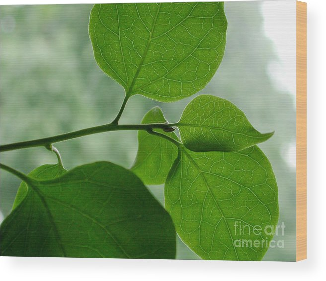 Bougainvillea Wood Print featuring the photograph Green Zen by Kathi Shotwell