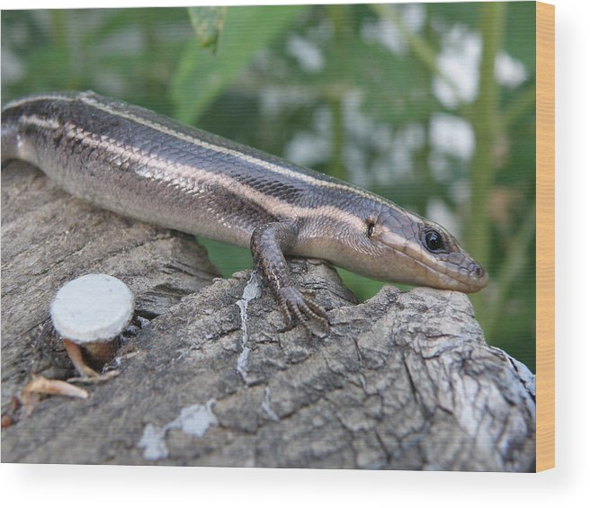 Lizard Wood Print featuring the photograph Hello Skink by Tina Camacho