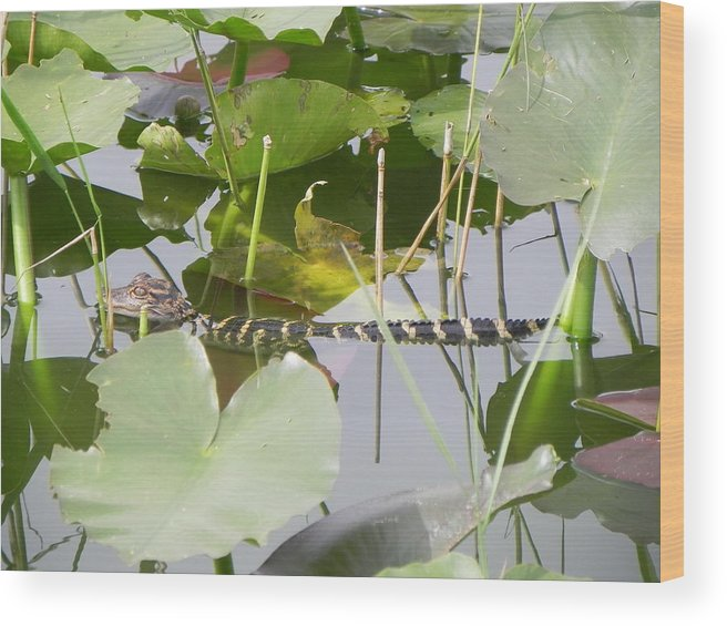 Alligator Wood Print featuring the photograph Hidding In The Lily's by Cynthia N Couch