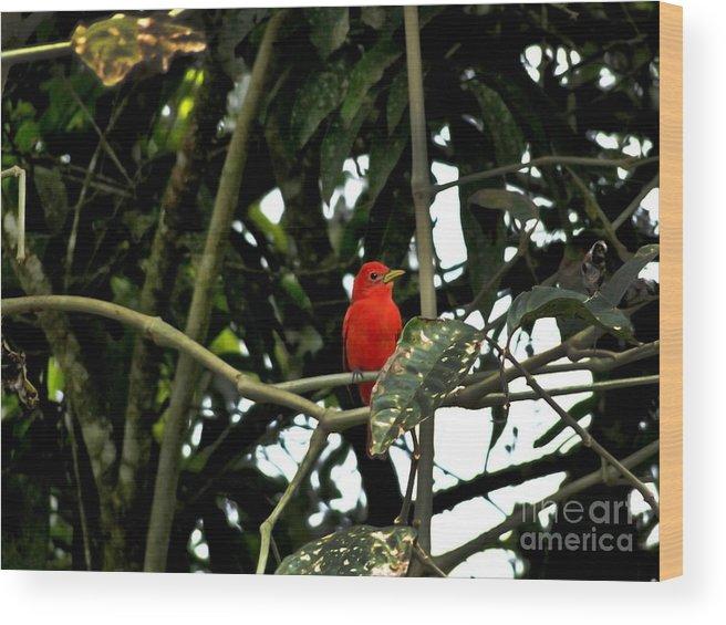 Vermilion Wood Print featuring the photograph Mindo Vermilion Flycatcher by Al Bourassa