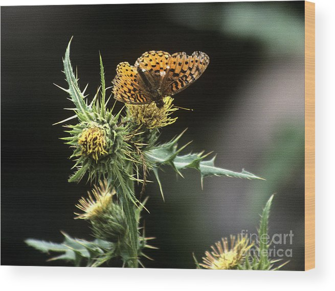 Butterfly Wood Print featuring the photograph Monarch On Thistle by Kathy McClure