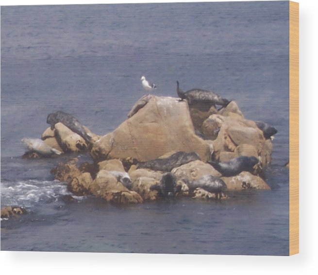 Seal Wood Print featuring the photograph Monterey Sun Bath by Pharris Art