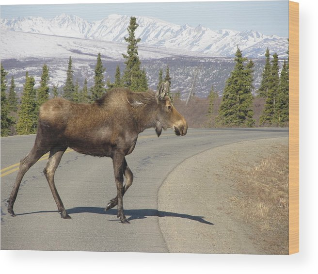 Alaska Wood Print featuring the photograph Mr Moose by Larry Marano