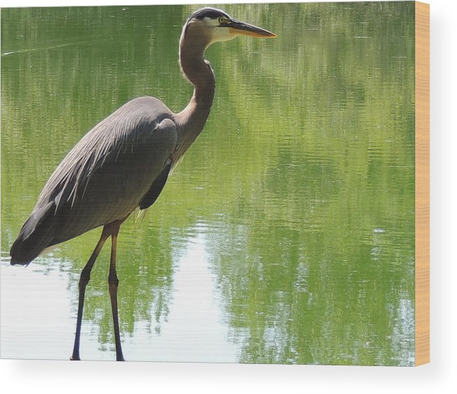 Great Blue Heron Wood Print featuring the photograph Next To Water by Lucy Howard