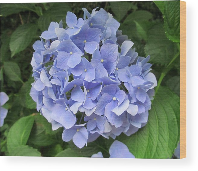 Flower Wood Print featuring the photograph Nikko Blue Hydrangea by Robert Speziale