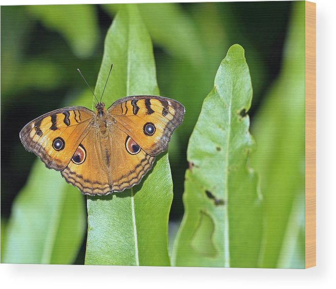 Butterfly Wood Print featuring the photograph Now You See Me by Atchayot Rattanawan