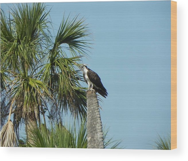 Bird Wood Print featuring the photograph Osprey Heaven by Cynthia N Couch