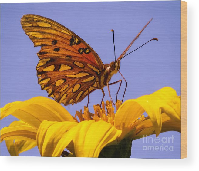 Butterfly Wood Print featuring the photograph Passion Butterfly On The Mexican Sunflower by Zina Stromberg