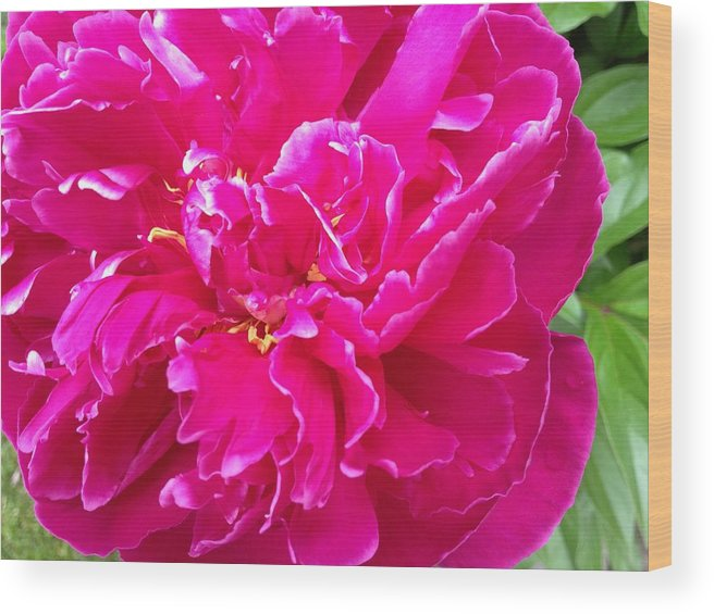 Pink Wood Print featuring the photograph Pink Peony by Pema Hou