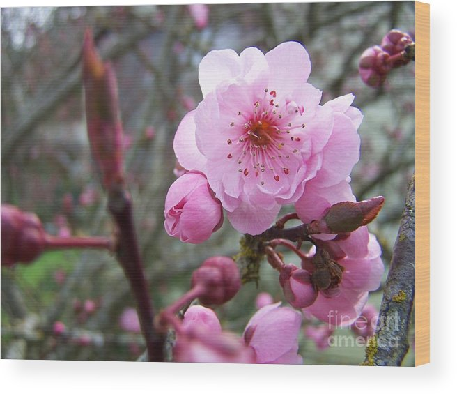 Plum Blossom Wood Print featuring the photograph Plum Blossom by Vicki Maheu