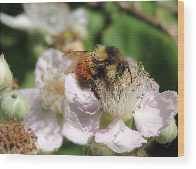 Honey Bee Wood Print featuring the photograph Puffy Bee by Lucy Howard
