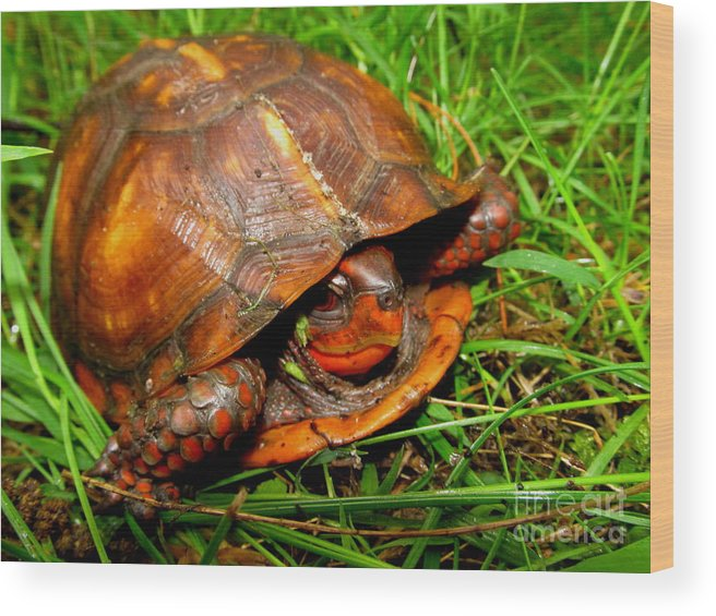 Red Box Turtle Red Reptiles Red Turtles North American Turtles Eastern Box Turtles Appalachian Reptiles Appalachian Turtles Pennsylvania Box Turtle Forest Creatures Nature Prints Preserve Biodiversity Natural Design Herpetology Rare Creatures Of The Forest Beings Natural Design Exotic Nature Conservancy Fine Art Awesome Images Perfect Prints Smiling Turtle Grin Red Tortoise North American Turtles Of Appalachia Biodiversity Cute Critters Cute Animals Sierra Club Green Peace Pa Parks Wood Print featuring the photograph Red Box by Joshua Bales