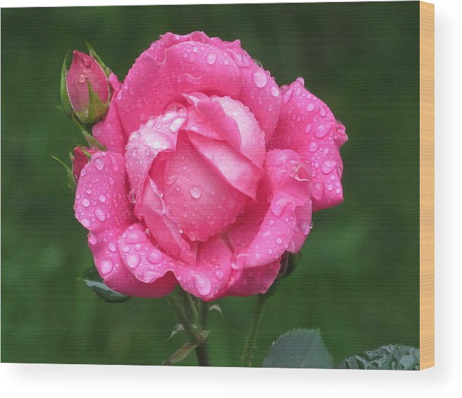 Flower Wood Print featuring the photograph Rose Showers by Loretta Pokorny