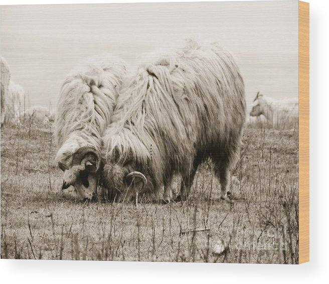 Sheeps Wood Print featuring the photograph Sheep Grazing by Gabriela Insuratelu
