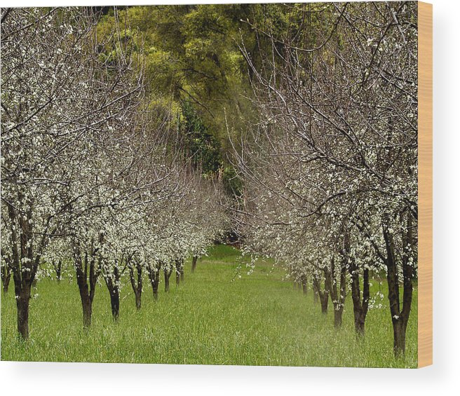 Landscapes Wood Print featuring the photograph Spring Has Sprung by Bill Gallagher