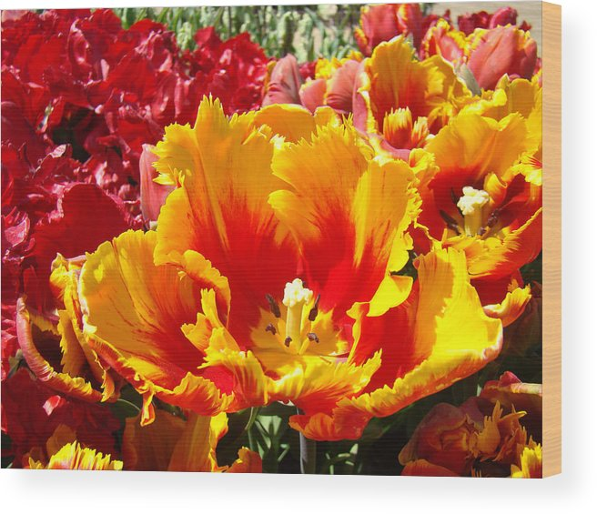 Yellow Wood Print featuring the photograph Spring Tulip Flowers Art Prints Yellow Red Tulip by Baslee Troutman