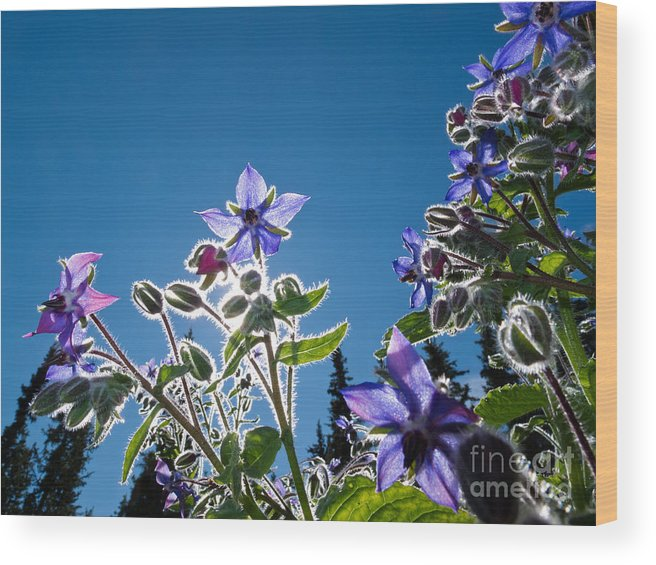 Autumn Wood Print featuring the photograph Starflower Borago Officinalis by Stephan Pietzko