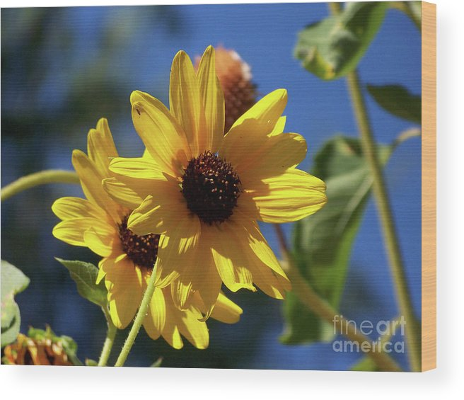 Arizona Wood Print featuring the photograph Sun Flowers by Kathy McClure